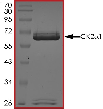SDS-PAGE - Recombinant human CSNK2A1 protein (ab60763)