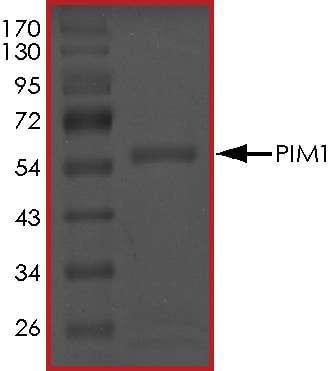 SDS-PAGE - Recombinant human PIM1 protein (ab60835)