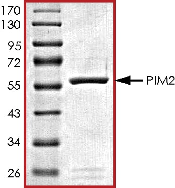 SDS-PAGE - Recombinant human PIM2 protein (ab60836)