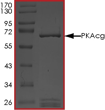 SDS-PAGE - Recombinant human PRKACG protein (ab60838)