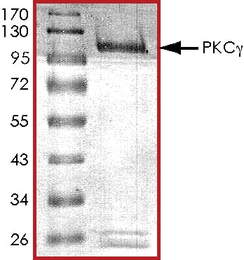 SDS-PAGE - Recombinant human PKC gamma protein (ab60842)