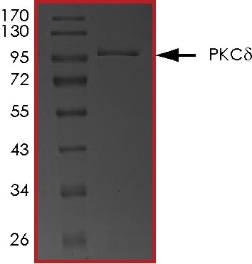 SDS-PAGE - Recombinant human PKC delta protein (ab60844)