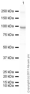 Western blot - Recombinant human PKC iota protein (ab60850)