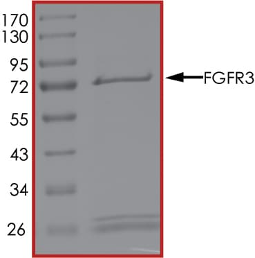 SDS-PAGE - Recombinant human FGFR3 protein (ab60857)