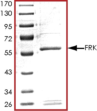 SDS-PAGE - Recombinant human FRK protein (ab60861)