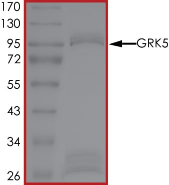 SDS-PAGE - Recombinant human GRK5 protein (ab60862)