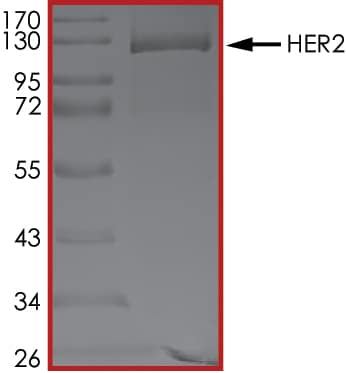 SDS-PAGE - Recombinant human ErbB2 / HER2 protein (Active) (ab60866)