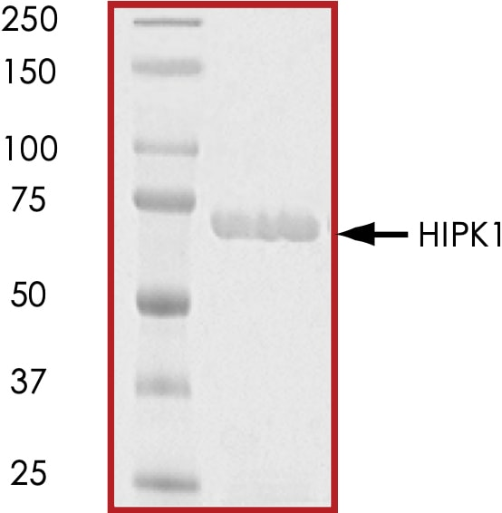 SDS-PAGE - Recombinant human HIPK1 protein (ab60867)