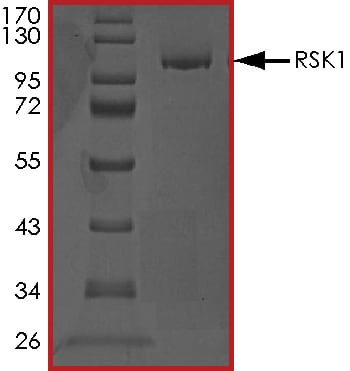 SDS-PAGE - Recombinant human RSK1 p90 protein (ab60880)