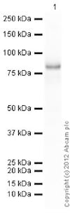 Western blot - Recombinant human Syk protein (ab60886)