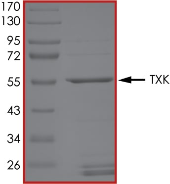 SDS-PAGE - Recombinant human TXK/RLK protein (ab60900)