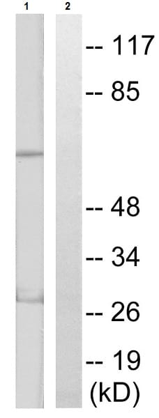 Western blot - Anti-S6K1 (phospho T389 + T412) antibody (ab60948)