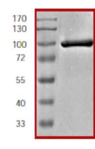 SDS-PAGE - Recombinant human ZAP70 protein (ab60963)