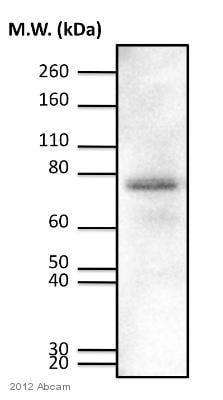 Western blot - Anti-PKC delta (phospho T505) antibody (ab60992)