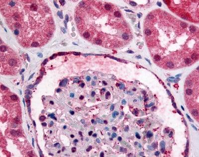 Immunohistochemistry (Formalin/PFA-fixed paraffin-embedded sections) - Anti-GPR89A antibody (ab60998)
