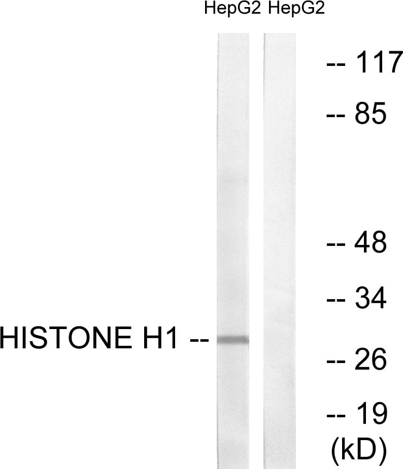 Western blot - Anti-Histone H1 antibody (ab61177)