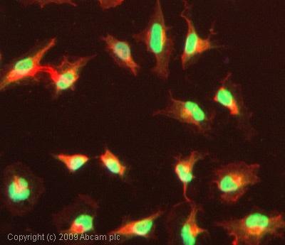 Immunocytochemistry/ Immunofluorescence - Anti-CREBBP (acetyl K1535) antibody (ab61242)