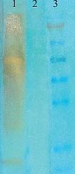 Western blot - Anti-acetyl Lysine antibody [7F8] (ab61384)