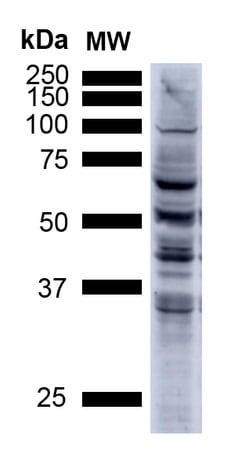 Western blot - Anti-3-Nitrotyrosine antibody [39B6] (ab61392)