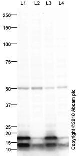Western blot - Anti-IRF8 antibody [mAbcam61750] (ab61750)