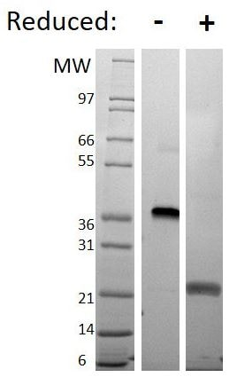 SDS-PAGE - Recombinant human VEGF 165A protein (ab61861)