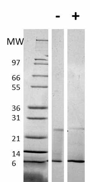 Other - Recombinant Mouse RELM alpha protein (ab61877)
