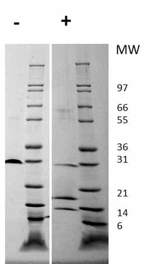 Other - Recombinant human PDGFAA + PDGFBB protein (ab61903)
