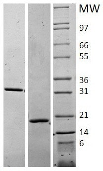 SDS-PAGE - Recombinant human M-CSF protein (ab62015)