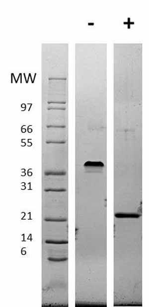 Western blot - Recombinant mouse VEGF 165A protein (ab62134)