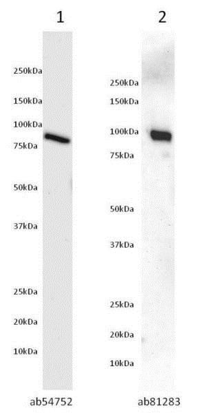 Western blot - Recombinant human AKT1 protein (ab62279)