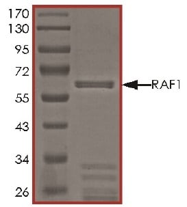 Western blot - Recombinant Raf1 protein (Active) (ab62292)