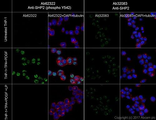 Immunocytochemistry/ Immunofluorescence - Anti-SHP2 (phospho Y542) antibody [EP508(2)Y] (ab62322)