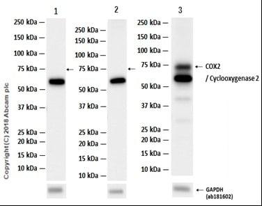 Western blot - Anti-COX2 / Cyclooxygenase 2 antibody [EP1978Y] (ab62331)