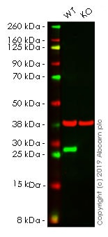 Western blot - Anti-Hsp27 antibody [EP1724Y] (ab62339)
