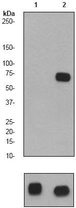 Western blot - Anti-SHP2 (phospho Y582) antibody [EP509Y] (ab62379)