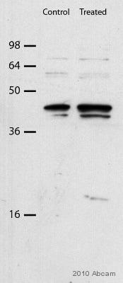 Western blot - Anti-Caspase-12 antibody (ab62484)