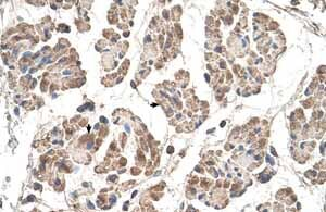 Immunohistochemistry (Formalin/PFA-fixed paraffin-embedded sections) - Anti-MOSPD3 antibody (ab62525)