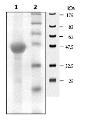 SDS-PAGE - Recombinant Mouse ERK2 (mutated K52 R) protein (ab62568)