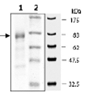 SDS-PAGE - Recombinant Human MNK1 protein (ab62572)