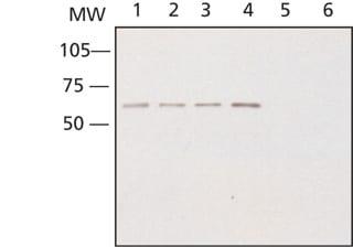 Western blot - Anti-CRMP2 antibody (ab62661)