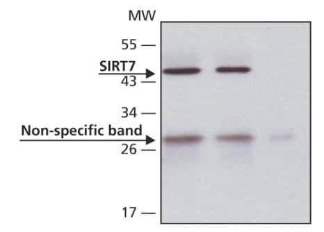Immunoprecipitation - Anti-SIRT7 antibody (ab62748)