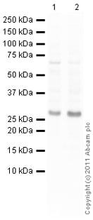 Western blot - Anti-Noto antibody (ab62933)