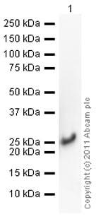 Western blot - Recombinant Human Cofilin protein (ab62958)