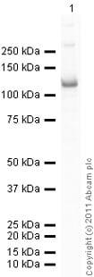 Western blot - Recombinant Human beta Catenin protein (Tagged) (ab63175)