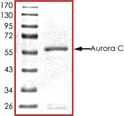 SDS-PAGE - Recombinant human IPL-1/STK13/Aurora C protein (ab63177)