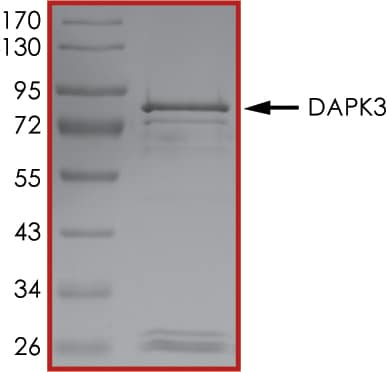SDS-PAGE - Recombinant human ZIP Kinase protein (ab63192)