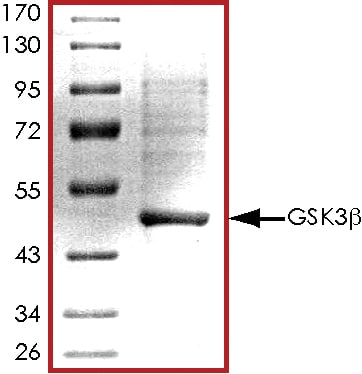 SDS-PAGE - Recombinant human GSK3 beta protein (ab63193)
