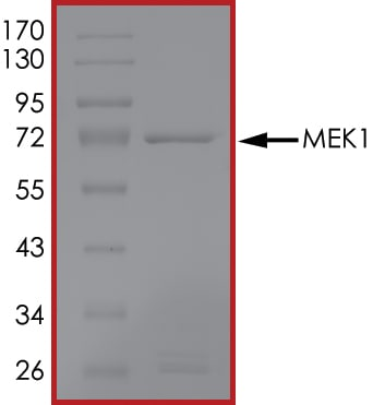 SDS-PAGE - Recombinant human MEK1 protein (ab63209)