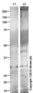 Western blot - Anti-VEGFC antibody [mAbcam 63221] (ab63221)