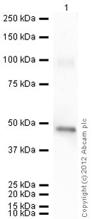 Western blot - Recombinant Human Neuroserpin protein (ab63224)